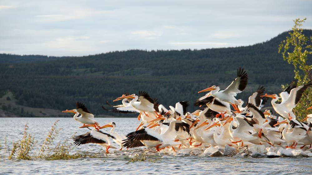 Pelican Posse