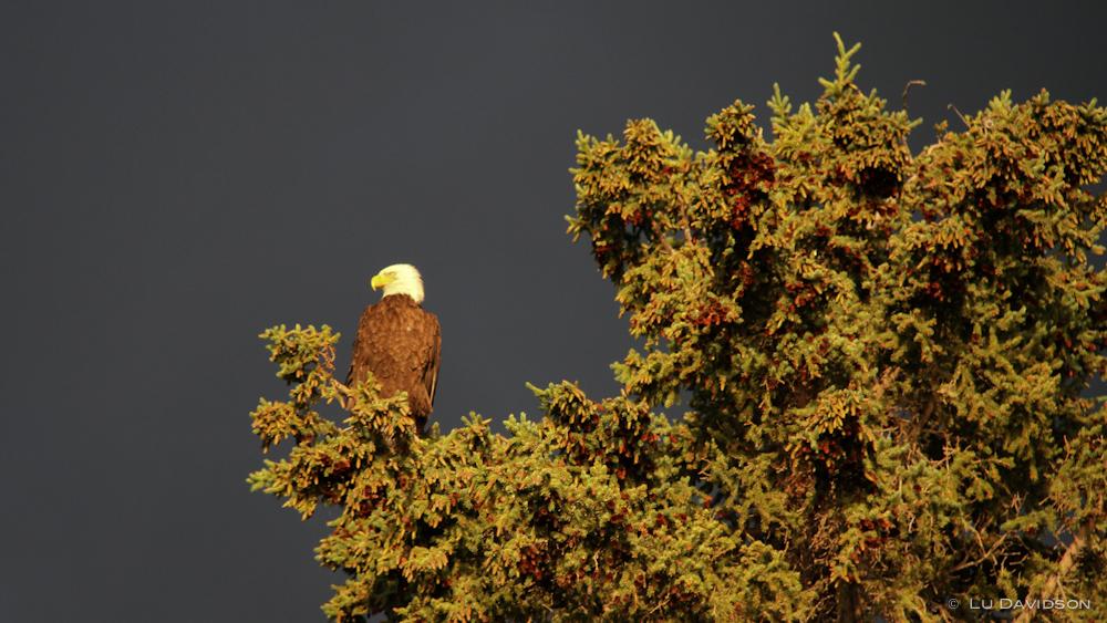 Bald Headed Eagle Sunset