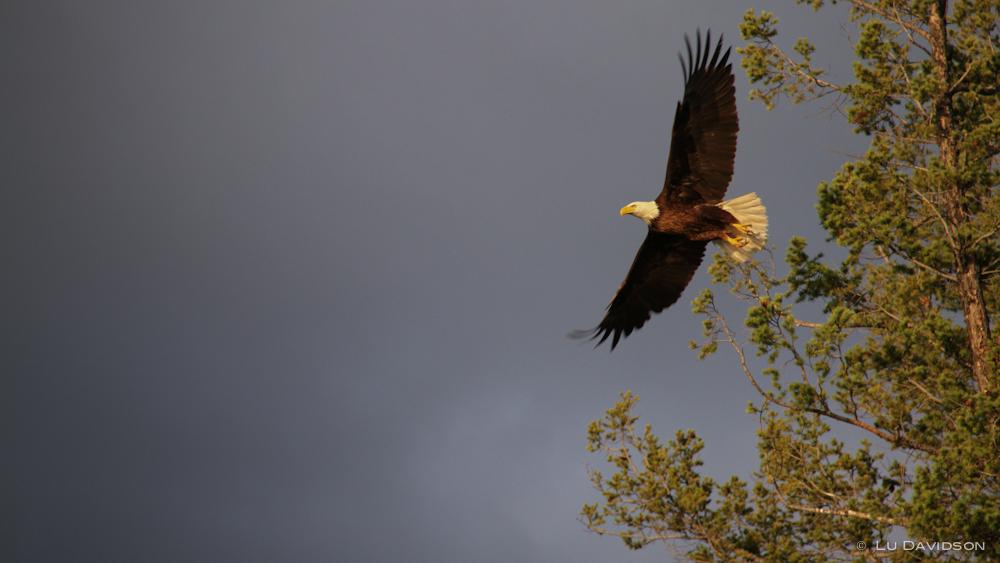 Bald Headed Eagle in Flight